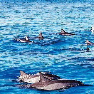 dauphins ile maurice